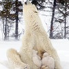 Polar bear cubs still nursing