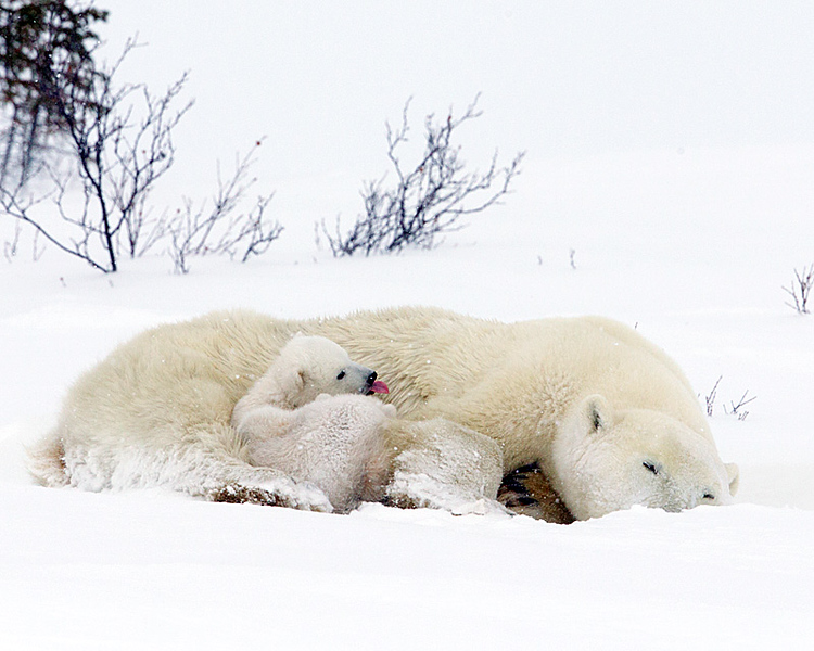 Mom has oriented herself to shield the cubs from the wind