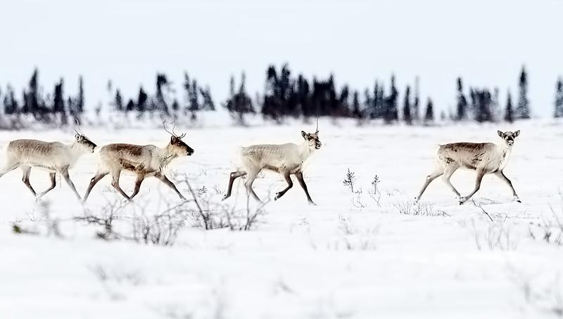 Caribou Herd Running 3