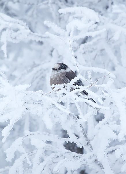 Gray Jay Perched in Snowy Pine Tree