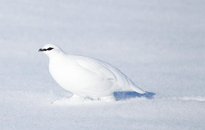 Rock Ptarmigan Male Running in Snow