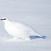 Rock Ptarmigan Male Running in Snow