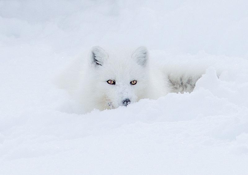 Arctic Fox Lying in Snow