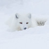 Arctic Fox Lying in Snow