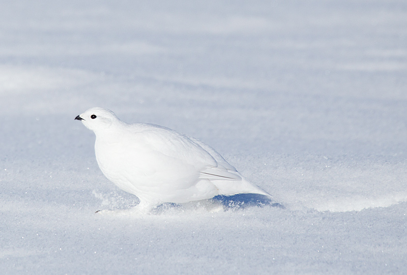 Rock Ptarmigan Female Running in Snow