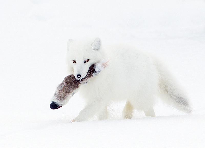 Arctic Fox Carrying a Caribou Leg