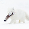 Arctic Fox Carrying a Caribou Leg