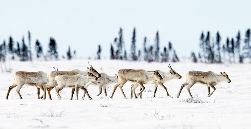 Caribou Herd