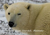 This wink's for you! -  Polar Bears and Northern Lights - Churchill, Manitoba, Canada - Jenny Cummings - November 2012