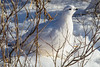 Willow Ptarmigan - Polar Bears and Northern Lights - Churchill, Manitoba, Canada - Nancy K. Varga - November 2012