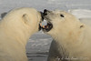 Polar Bears Sparing - Polar Bears and Northern Lights - Churchill, Manitoba, Canada - Jay & Judie Brooks - November 2012