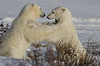 Just an afternoon wrestle - Polar Bears and Northern Lights - Churchill, Manitoba, Canada - Jenny Cummings - November 2012