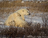 Mother and Cub-  Polar Bears and Northern Lights - Churchill, Manitoba, Canada - Jim Norton - November 2012