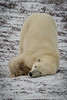 Polar Bear Sliding -  Polar Bears and Northern Lights - Churchill, Manitoba, Canada - Jim Norton - November 2012