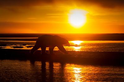 Sunset Bear