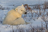Waking Up - Polar Bears and Northern Lights - Churchill, Manitoba, Canada - Jay & Judie Brooks - November 2012