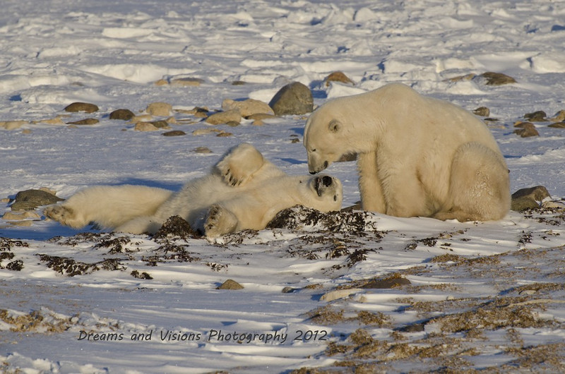 That Tickles - Polar Bears and Northern Lights - Churchill, Manitoba, Canada - Jenny Cummings - November 2012