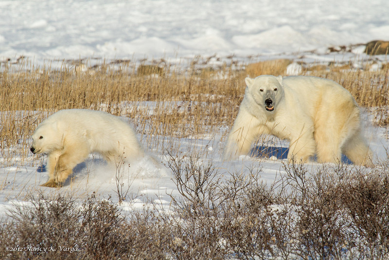 On The Run - Polar Bears and Northern Lights - Churchill, Manitoba, Canada - Nancy K. Varga - November 2012