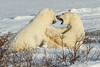Sparing Bears - Polar Bears and Northern Lights - Churchill, Manitoba, Canada - Nancy K. Varga - November 2012