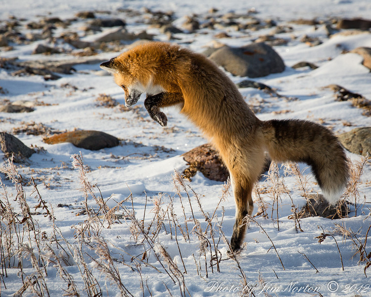 Red Fox Initial Leap -  Polar Bears and Northern Lights - Churchill, Manitoba, Canada - Jim Norton - November 2012
