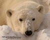 Up Close and Personal - Polar Bears and Northern Lights - Churchill, Manitoba, Canada - John Remy - November 2012
