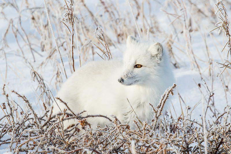 Arctic Fox Looking - Polar Bears and Northern Lights - Churchill, Manitoba, Canada - Nancy K. Varga - November 2012