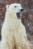 Polar Bear Yawning - Polar Bears Northern Lights - Churchill, Manitoba, Canada - Nancy K. Varga - November 2012