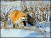 "Red Fox With ""Catch of the Day"" - Polar Bears and Northern Lights - Churchill, Manitoba,Canada - Kathleen Sims - November 2012"