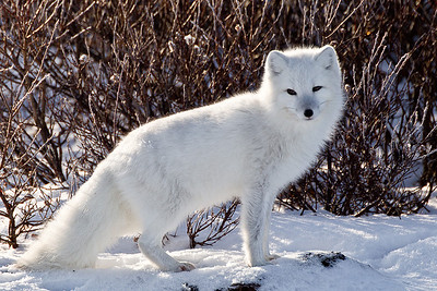 The arctic fox is a beautiful sight in his own right.