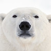 A polar bear near Cape Churchill, Manitoba.