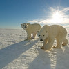 Polar Bear (Ursus maritimus) mother and her cub at Cape Churchill on the shores of Hudson Bay, near Churchill, Manitoba, Canada.