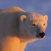 Polar Bear (Ursus maritimus) illuminated in alpenglow on the frozen ice of Hudson Bay, Canada.
