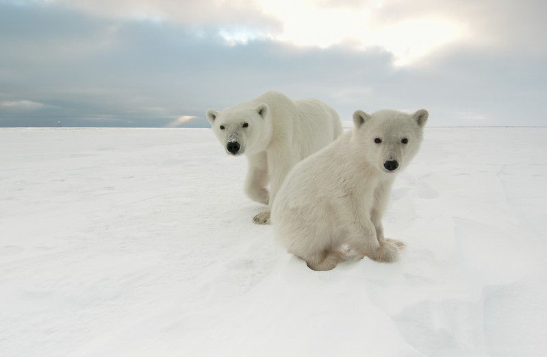 Polar Bear mother and her cub at Cape Churchill, near Churchill, Manitoba, Canada.