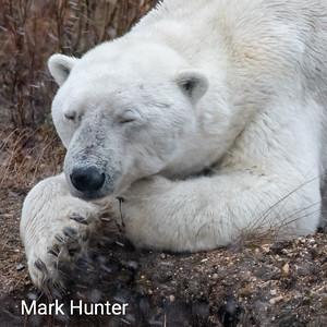 Dozing Polar Bear