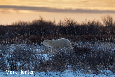 Polar Bear at Dusk