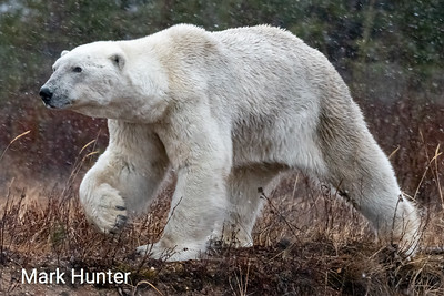 Polar Bear Striding Out