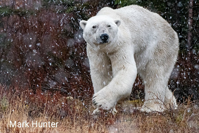 Polar Bear Turning