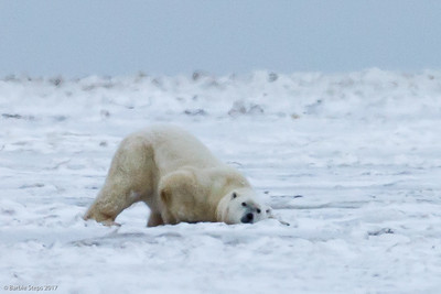 Male Polar Bear going down in the snow