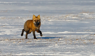 Red fox running by