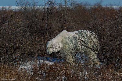 Male Polar Bear in the willows