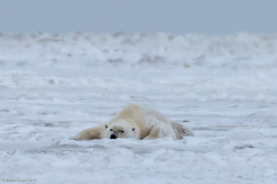 Male Polar Bear spread out on the snow