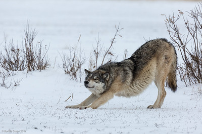 Timber/Tundra Grey Wolf - Stretching out