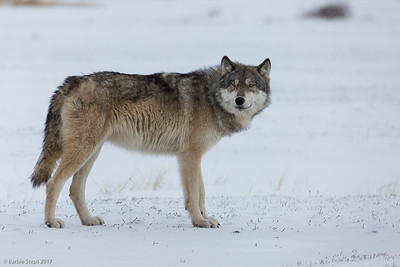Timber/Tundra Grey Wolf
