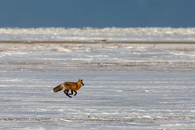 Red fox running by ... all four feet in the air