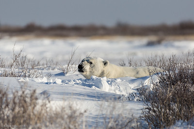 "Male Polar Bear peeking our of his snowy ""nest"""
