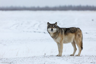 Timber/Tundra Grey Wolf - Watching
