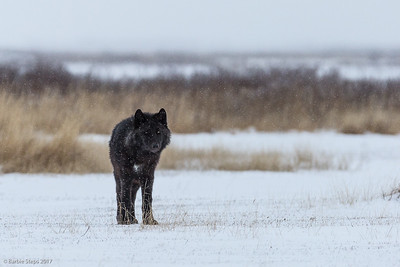 Timber/Tundra Grey Wolf in the snow