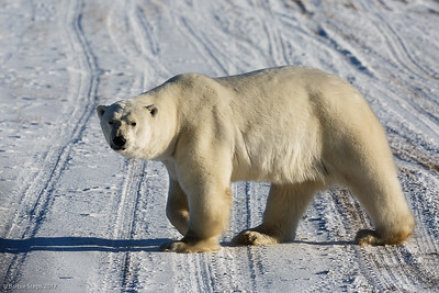 Male Polar Bear crossing the runway
