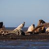 Bears dining at the whale boneyard