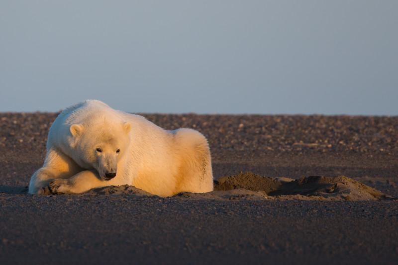bear in sand den at sunrise
